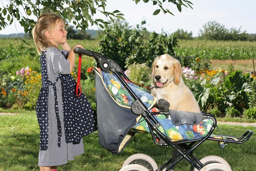 girl watching Golden Retriever puppy in baby carriage : Stock Photo
