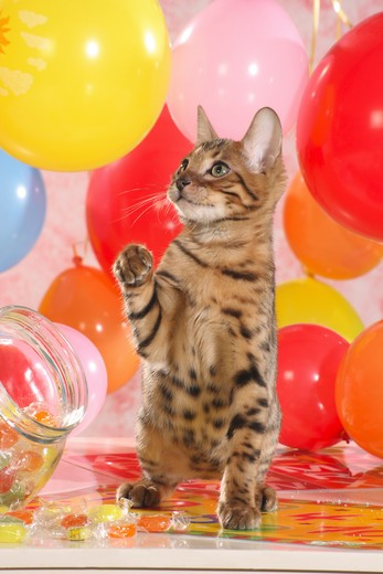 Bengal kitten between balloons and sweets : Stock Photo