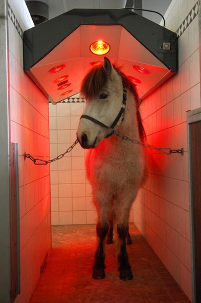 Icelandic horse in a solarium : Stock Photo