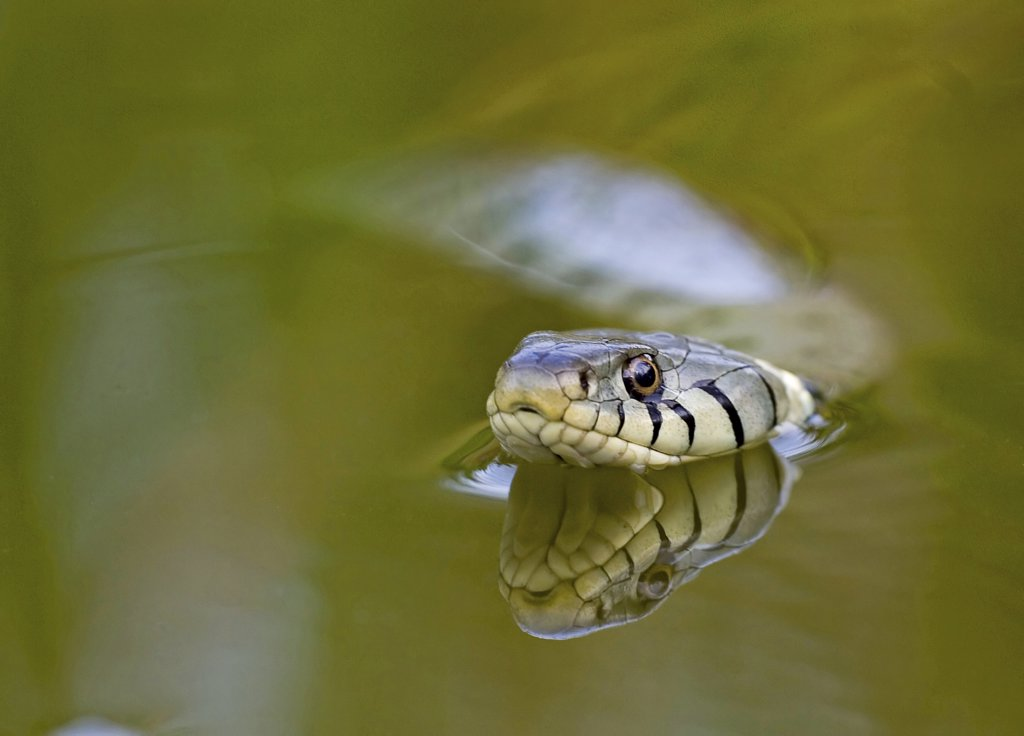 Stock Photo: 4279-22684 Grass Snake - swimming, Natrix natrix