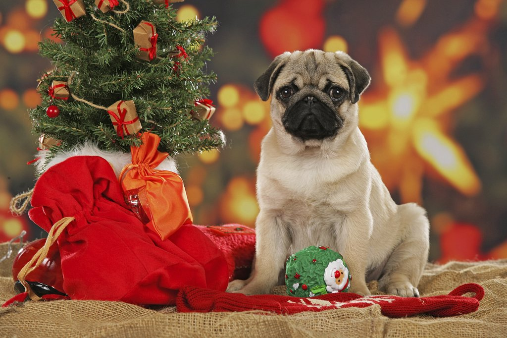 Stock Photo: 4279-22741 pug puppy between christmas decorations