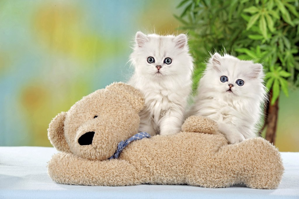 two Persian kittens with teddy : Stock Photo