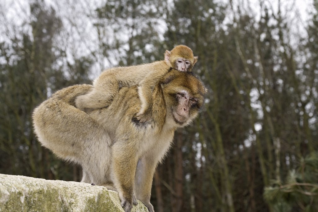 Barbary Macaque with cub, Macaca sylvanus : Stock Photo