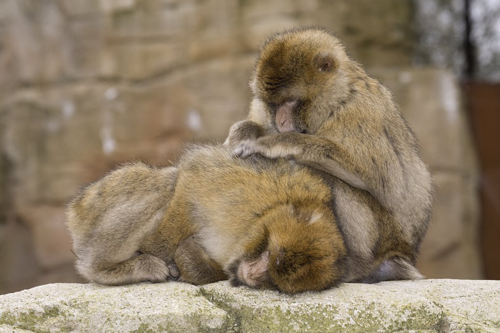 Stock Photo: 4279-22776 Barbary Macaques - coat care, Macaca sylvanus