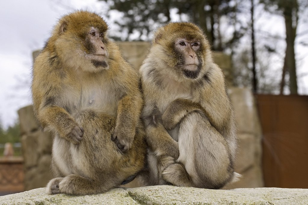 two Barbary Macaques - sitting, Macaca sylvanus : Stock Photo