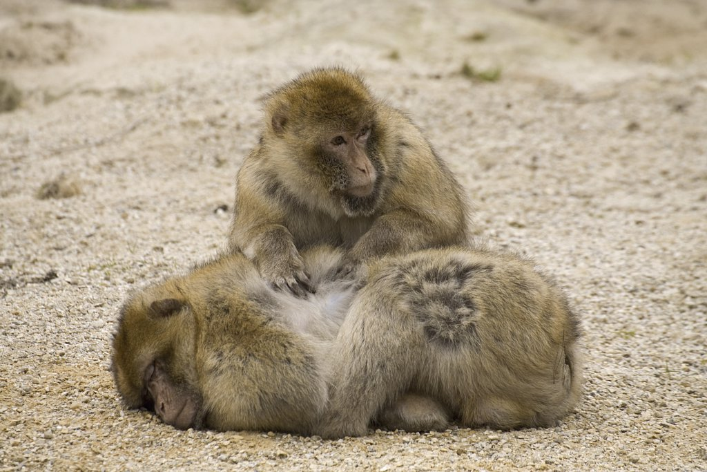 Stock Photo: 4279-22778 Barbary Macaques - coat care, Macaca sylvanus