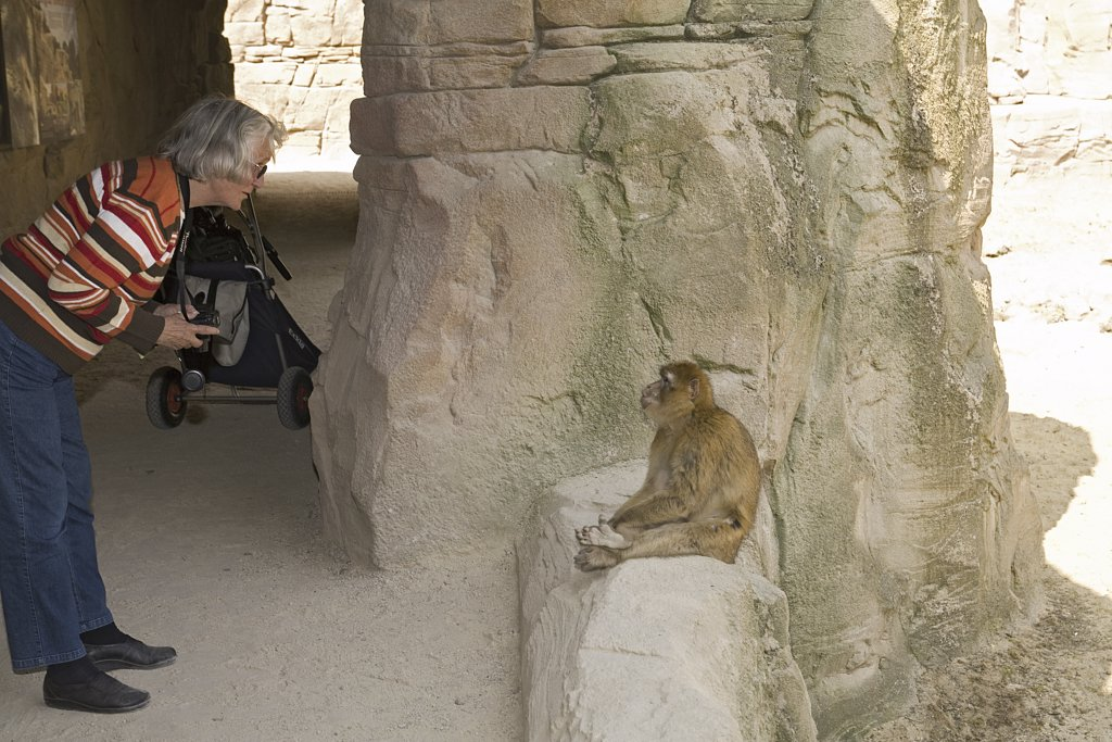 man watching Barbary Macaque, Macaca sylvanus : Stock Photo