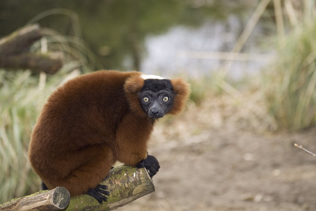 red-bellied lemur, Eulemur rubriventer : Stock Photo