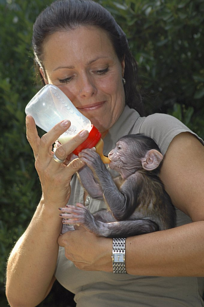 Stock Photo: 4279-22864 woman feeding young Barbary Macaque