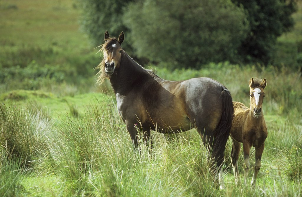 Stock Photo: 4279-23063 Connemara - mare with foal on meadow