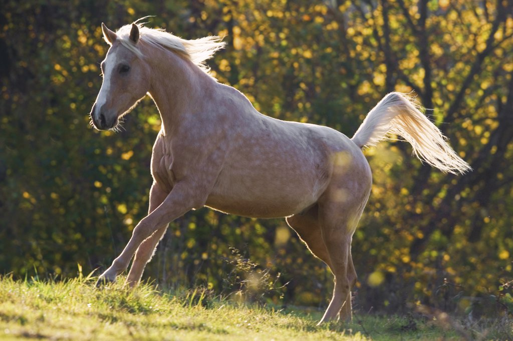 Stock Photo: 4279-23144 Anglo-Arabian horse on meadow - sunset
