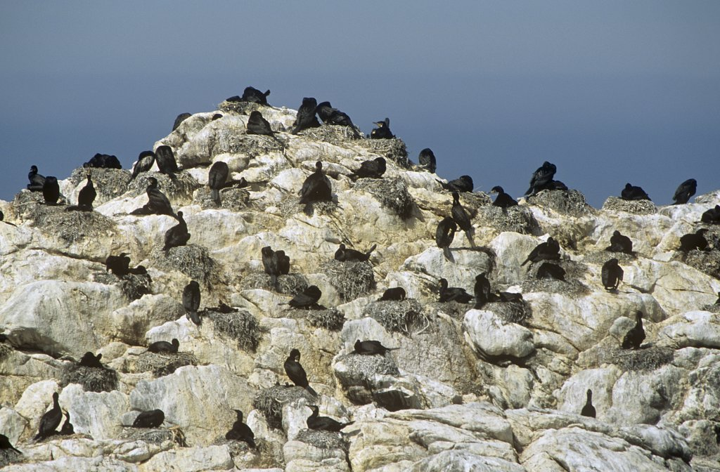 colony of cormorants on rock, Phalacrocorax carbo : Stock Photo