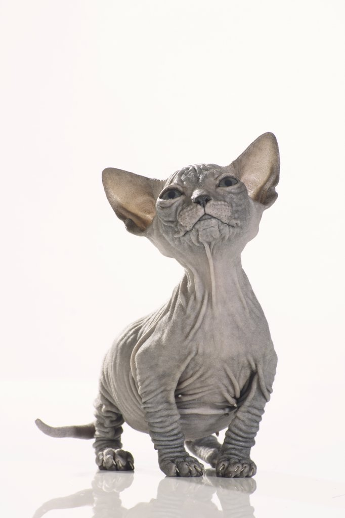 Stock Photo: 4279-23500 Sphynx cat - kitten standing - cut out