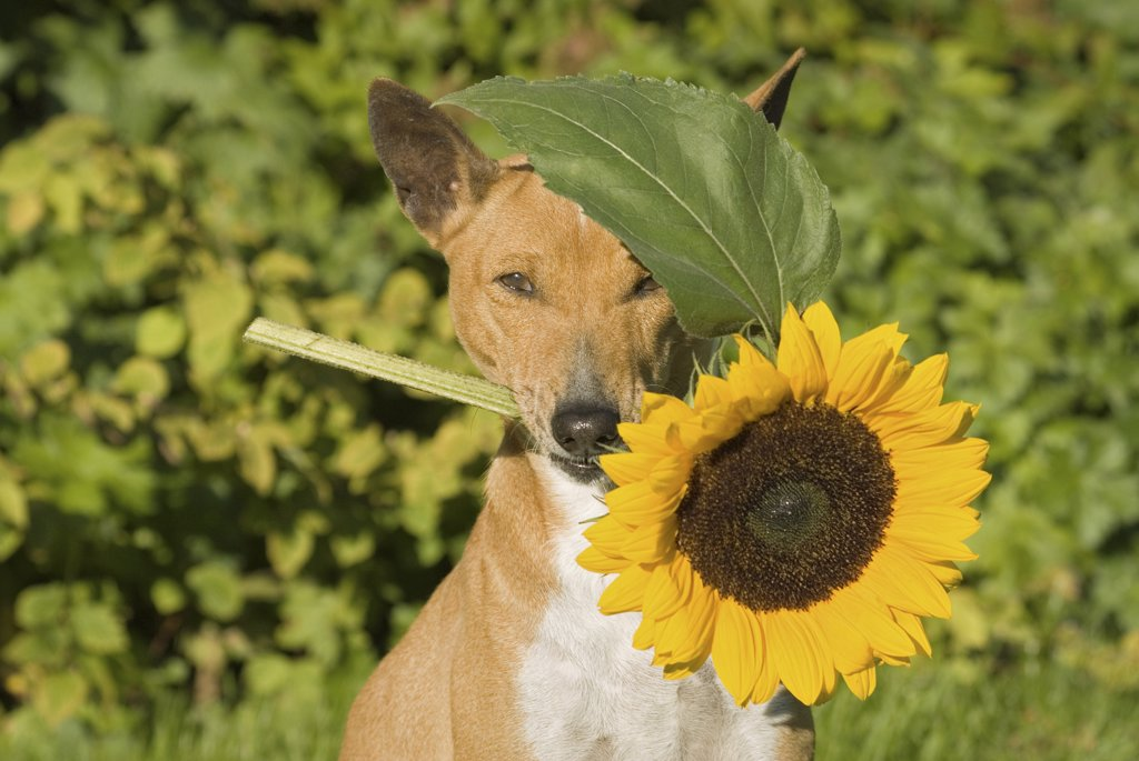 Basenji with sunflower in muzzle : Stock Photo