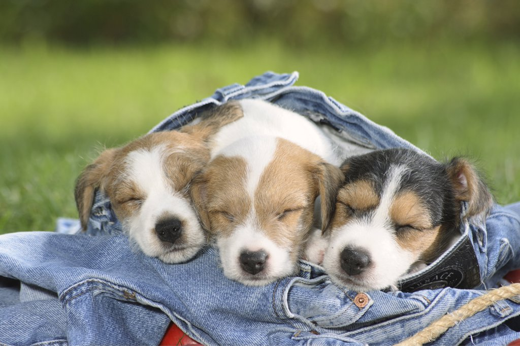 Jack Russell Terrier - three puppies sleeping in a jeans : Stock Photo