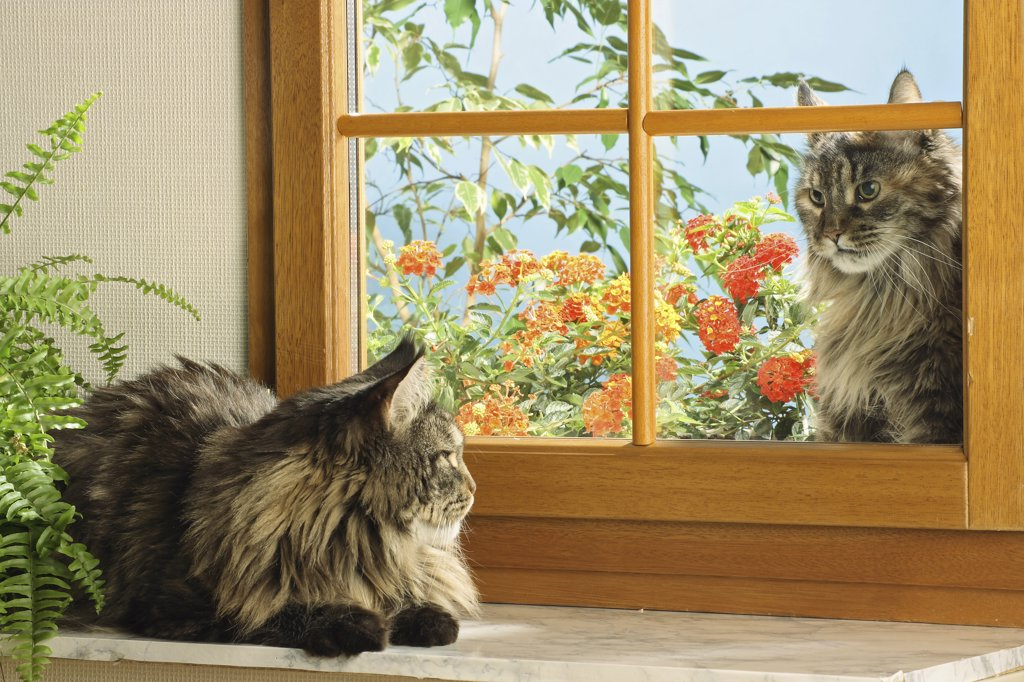 Stock Photo: 4279-23670 two Maine Coons at the window