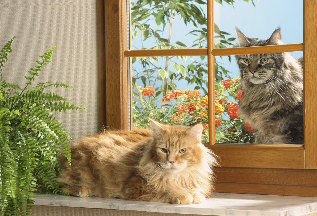 two Maine Coons at the window : Stock Photo