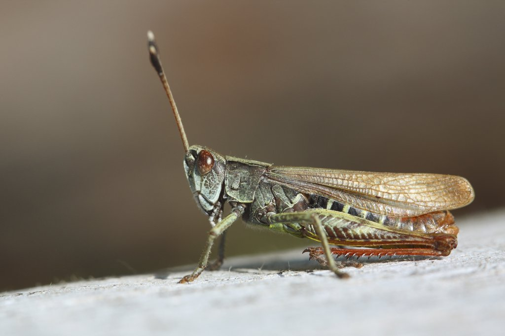Stock Photo: 4279-23891 grasshopper