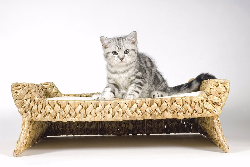 Stock Photo: 4279-23941 british shorthair - kitten sitting