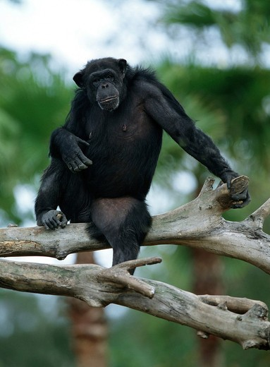 pan troglodytes, savanna chimpanzee : Stock Photo