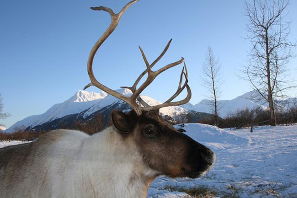Stock Photo: 4279-24206 Reindeer - standing in the snow, Rangifer tarandus