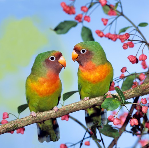 Stock Photo: 4279-24319 two agapornids (Black-cheeked Lovebird,peach-faced lovebird)