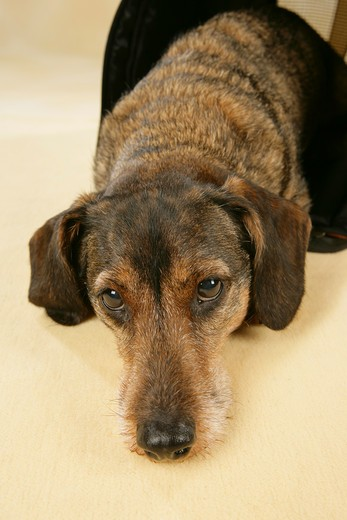 Stock Photo: 4279-24424 wire-haired dachshund - lying