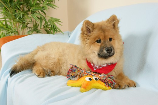 young Eurasier - lying : Stock Photo