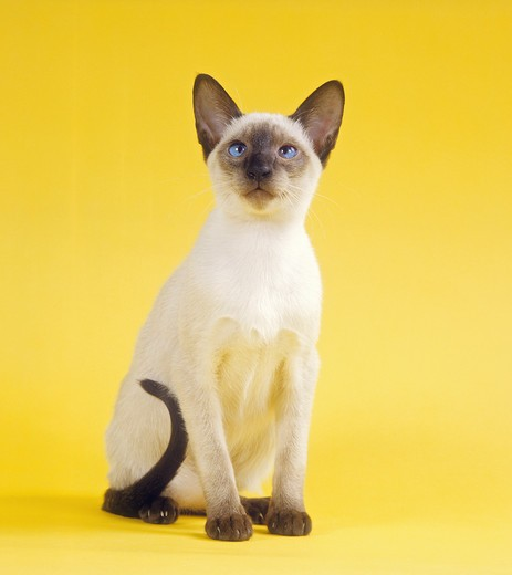 Stock Photo: 4279-24432 Siamese cat - sitting - cut out