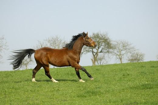 Stock Photo: 4279-24487 Trakehner - galloping on meadow