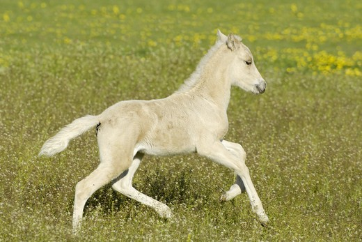 Stock Photo: 4279-24611 Icelandic horse foal galloping in a meadow