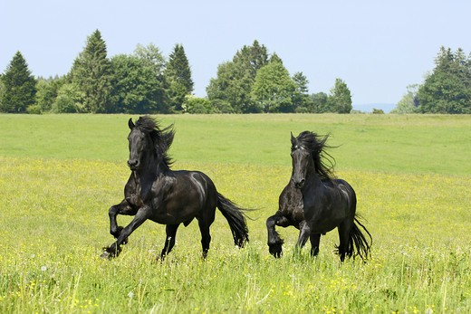 Stock Photo: 4279-24612 Two Friesian horses galloping in the paddock