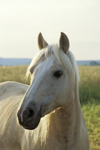 Stock Photo: 4279-24640 Connemara pony mare