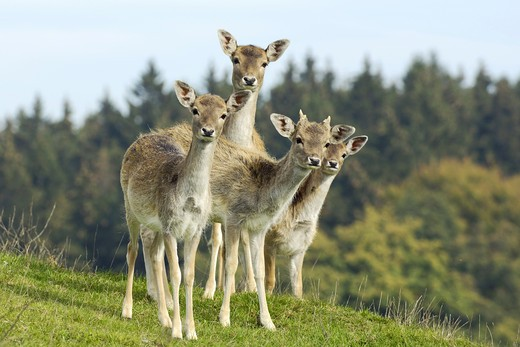 Stock Photo: 4279-24679 Fallow deer (captured)