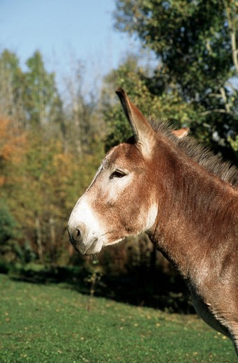donkey, burro - head, Equus asinus : Stock Photo
