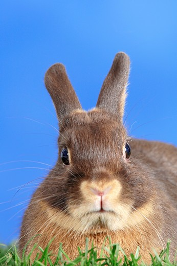 dwarf rabbit (tan) on meadow : Stock Photo