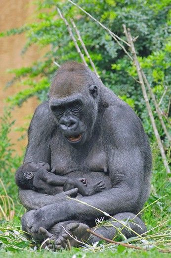 Western Lowland Gorilla with cub, Gorilla gorilla gorilla : Stock Photo