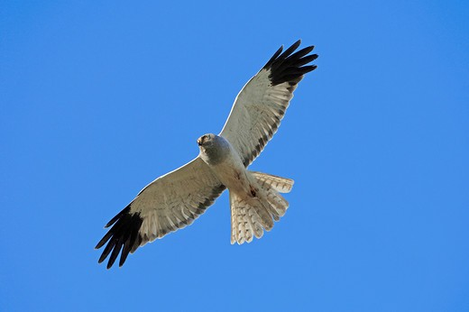 Stock Photo: 4279-24888 hen harrier - flying, Circus cyaneus