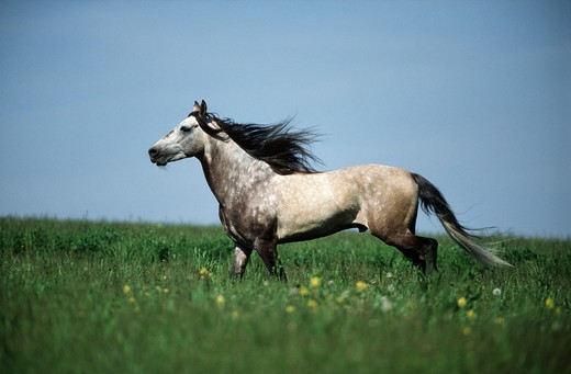 Stock Photo: 4279-2489 Paso Fino