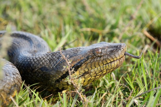Stock Photo: 4279-25263 green anaconda on meadow, Eunectes murinus