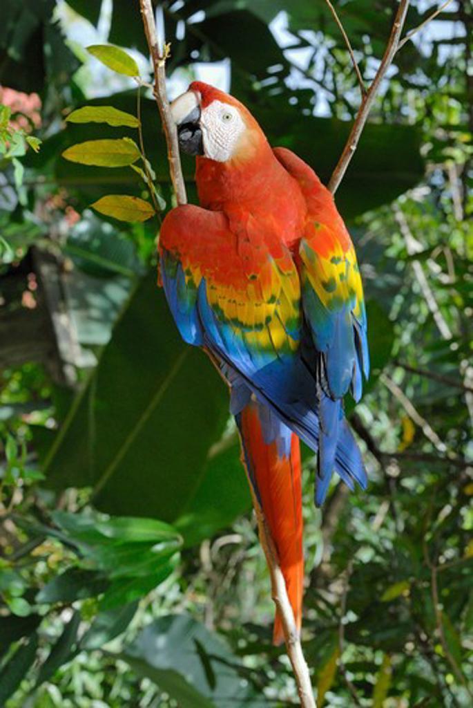 Stock Photo: 4279-25273 Scarlet Macaw on twig, Ara macao