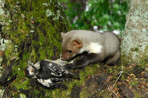 Stock Photo: 4279-25319 young beech marten with dead Great Spotted woodpecker on tree, Martes foina