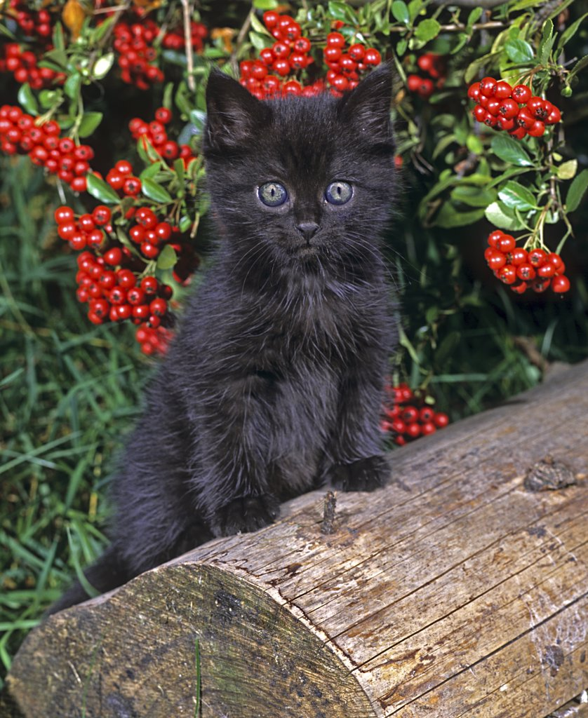 Stock Photo: 4279-25462 black kitten