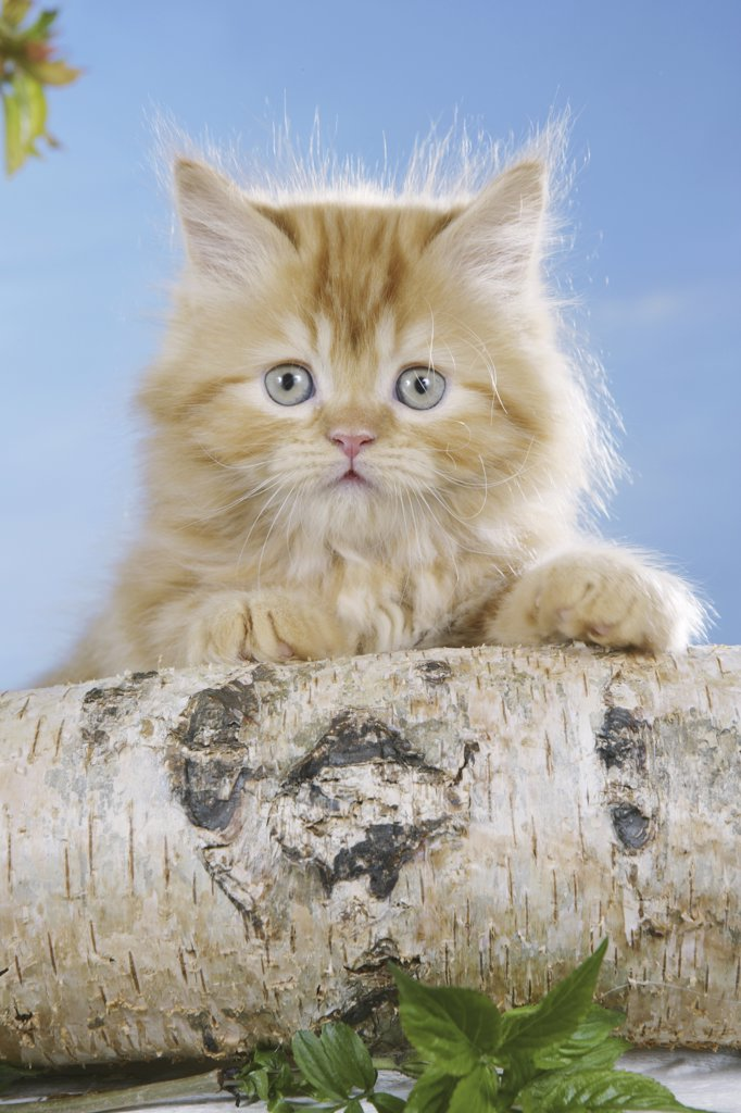 Stock Photo: 4279-25622 highlander kitten - sitting