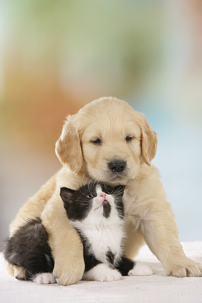 Stock Photo: 4279-25717 animal friendship : Golden Retriever puppy and British Shorthair kitten