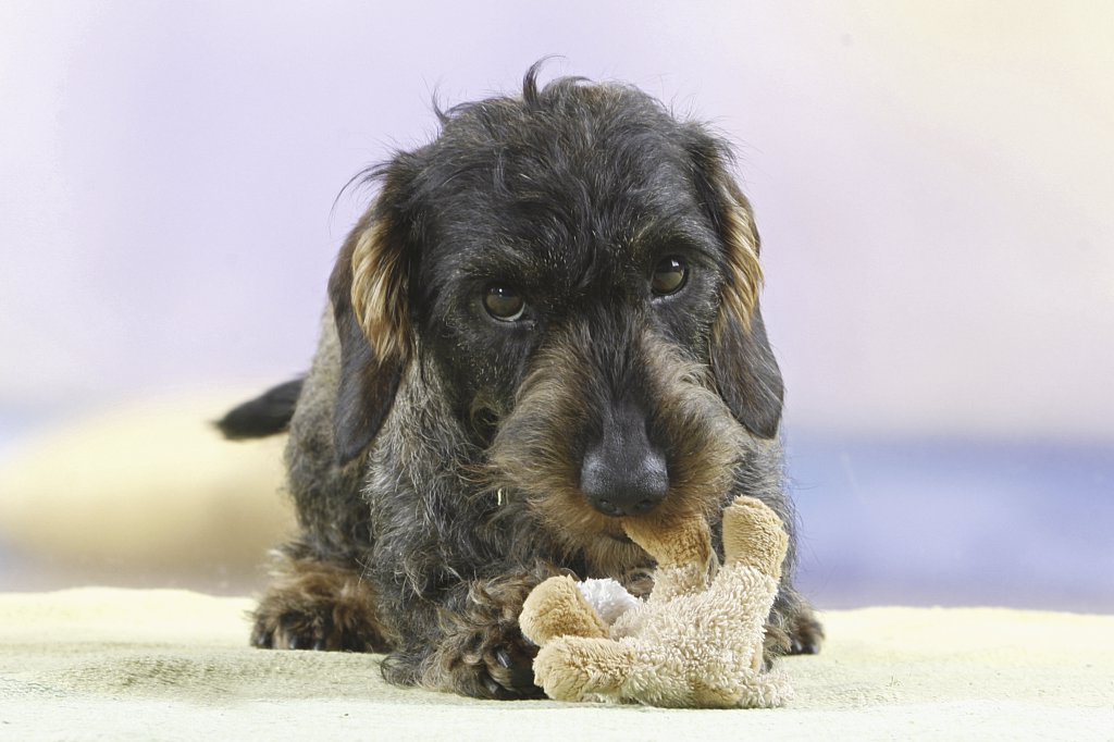 Stock Photo: 4279-25813 Wire-haired dachshund - standing with cuddly toy