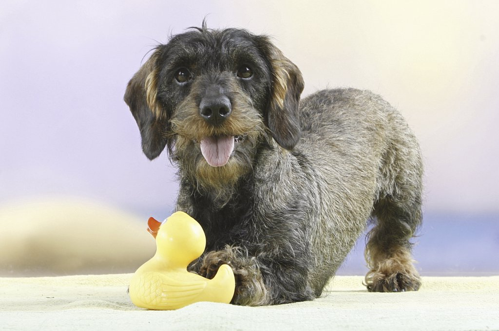 Stock Photo: 4279-25816 Wire-haired dachshund with rubber duck