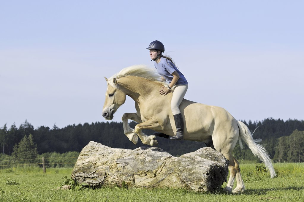 Girl jumping on Haflinger horse without saddle and without bridle : Stock Photo