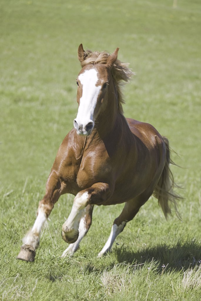 freiberger - galloping on meadow : Stock Photo