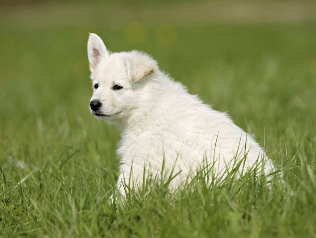 Stock Photo: 4279-26073 White Swiss Shepherd Dog - puppy sitting on meadow